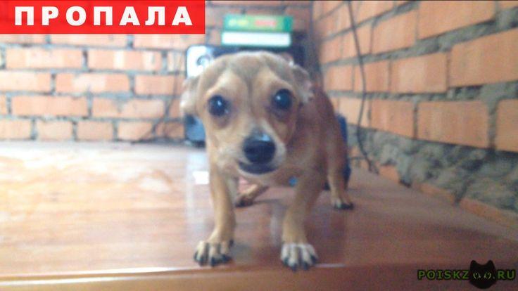 Пропала собака кобель той-терьер г.Волгодонск http://poiskzoo.ru/board/read31515.html  POISKZOO.RU/31515 Пропал Той-терьер! Мальчик, окрас светло-коричневый (белый «галстук» и белый «ботиночек» на левой лапке), хвост купирован, ушки не стоят, откликается на кличку «Грамм». Очень добрый и доверчивый пес! Очень переживаем за его судьбу! Если Вы вдруг о нем что-то знаете, пожалуйста, сообщите! Нам важно знать хотя бы, что с ним все хорошо, он жив-здоров. Пожалуйста, помогите, будем очень…