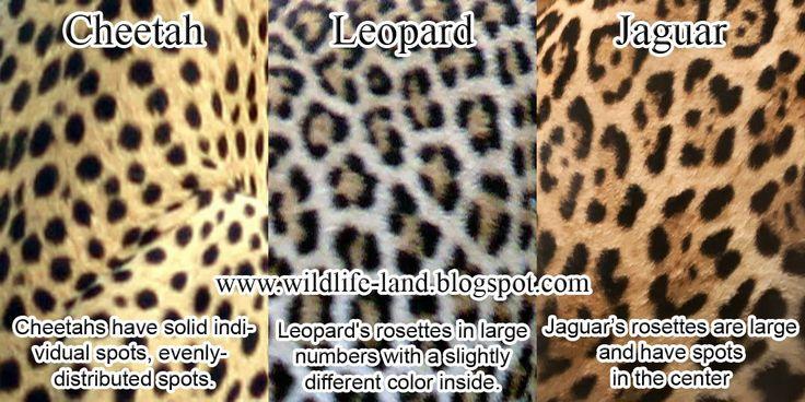 Compare Jaguar vs Lioness