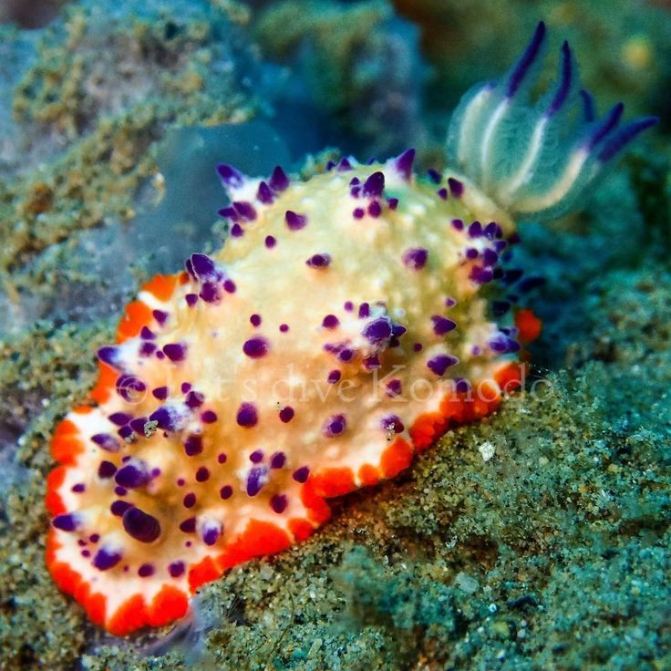 Nudibranch #komodo #labuanbajo #nudibranch #colors #beauty #macro #scuba #livetoscuba #divecenter #scubadiving #divecenter #lovemyjob #uwphotography #macro_captures #macrophotography #travel #holiday #backpacking #wanderlust #explore #ocean #reef #coral #marinelife #oceanlove #instapic #instadaily #exploremore #nofilter