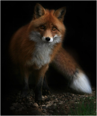 So wise, crafty, and beautiful looking!: Wild, Beauty Foxes, Creatures, Foxy, Puppys Dogs Eyes, Red Foxes, Fantastic Mr Foxes, Animal, Beauty Images