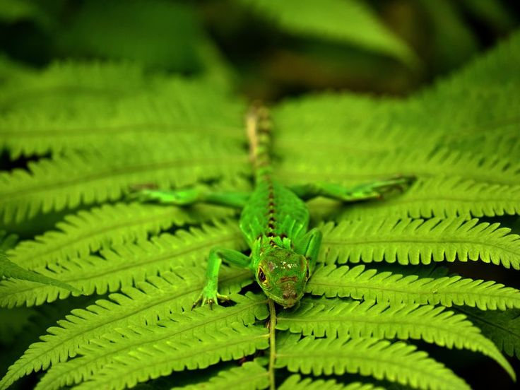 A Juvenile Green Iguana Sunbathes In Man Made Forest Clearing