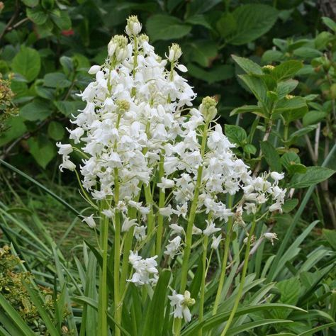 28 best Hasenglöckchen (Hyacinthoides) images on Pinterest | Autumn ...