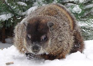 "Groundhog Day has roots in astronomy | EarthSky 2/2/17 Groundhog Day is tied to the movement of Earth around the sun. It's the year's first ""cross-quarter"" day"