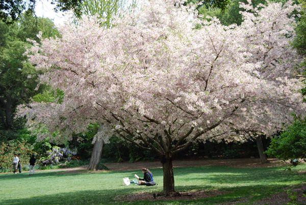 Beni hoshi flowering cherry tree wide spread garden Cherry blossom festival descanso gardens