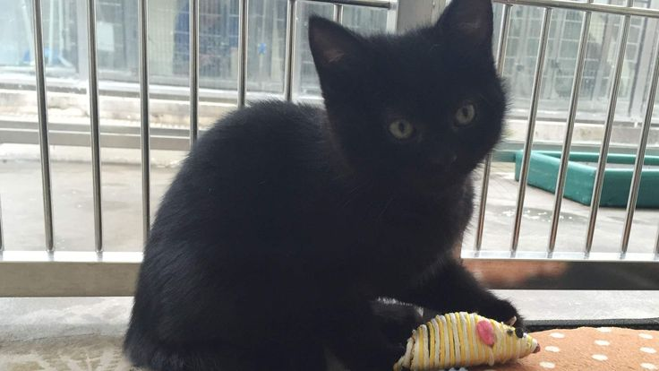 Hermaphrodite Kitten Looks For New Home Cats Cat Adoption Pets