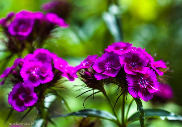 Harjaneilikka, Dianthus barbatus
