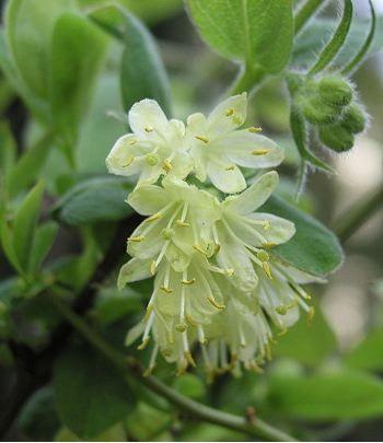 Lonicera kamtschatica  - Feuilles + Fleurs