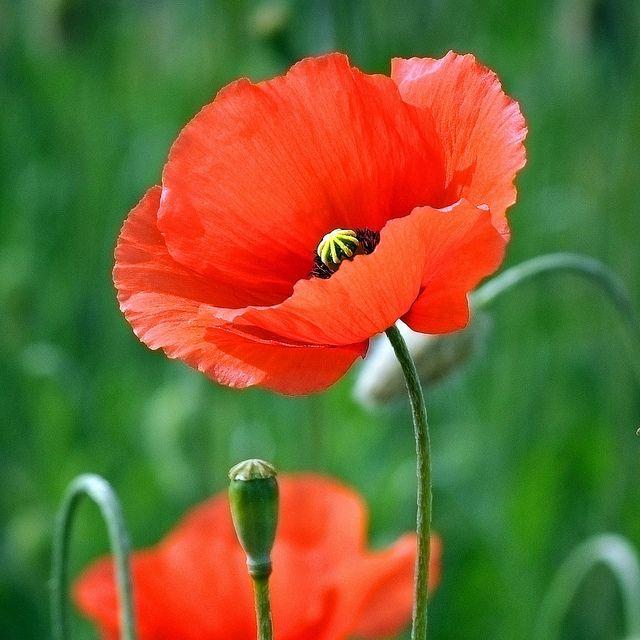 Poppy... | Flickr - Photo Sharing!