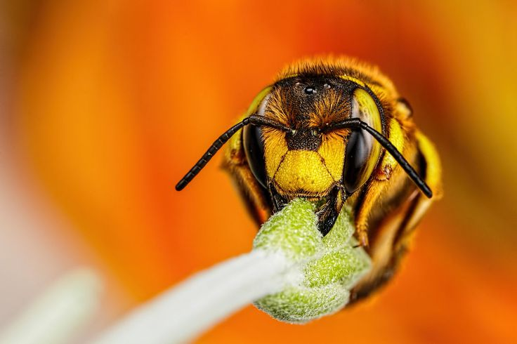 Wool Carder Bee Series 3-3 by dalantech on DeviantArt