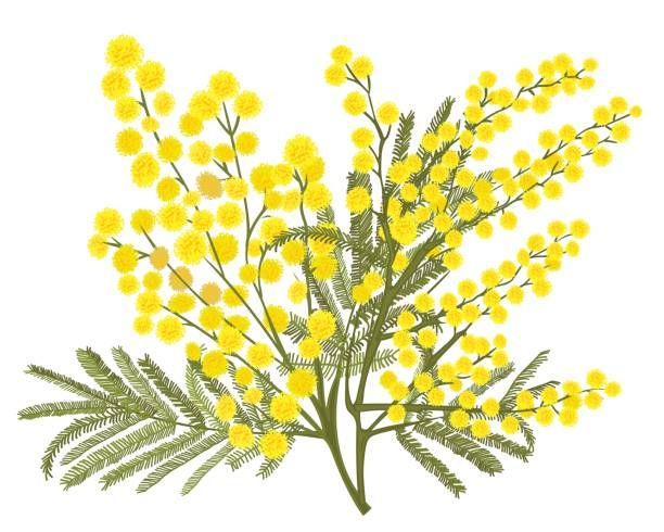 Royalty Free Acacia Clip Art Vector Images Illustrations Istock In 2020 Illustration Botanical Painting Acacia