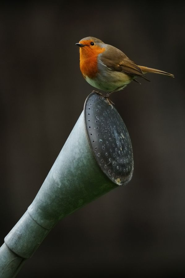 European Robin on watering can by Oscar Dewhurst, via 500px