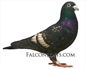 http://www.falconlofts.com/buy-homing-pigeons.html