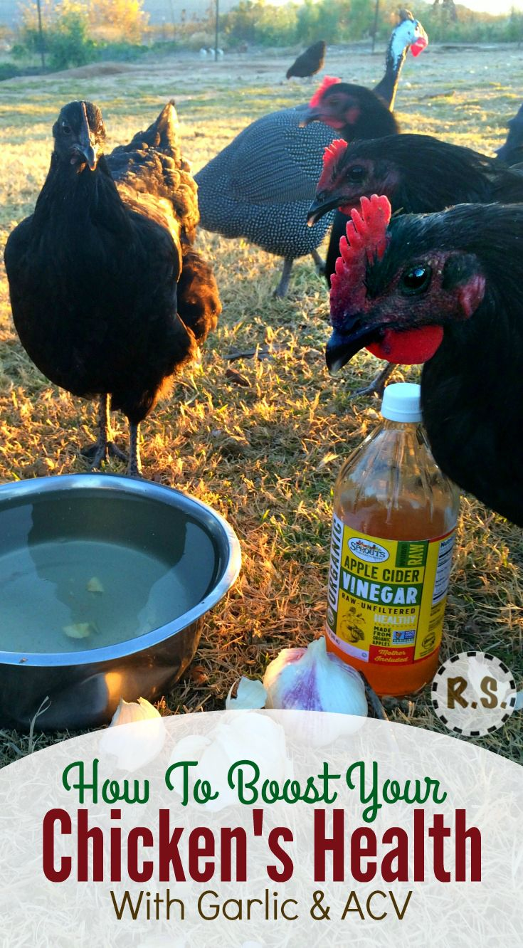 How do you improve your backyard chicken health? Feed your hens garlic & apple cider vinegar. I'll explain the amazing reasons to feed chickens garlic & apple cider vinegar & then I'll show you how easy it is to start feeding it to your hens today.