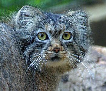 Pallas cat - Ce chat est un petit félin, mesurant environ 60 cm de long et pesant aux alentours de 3 kg à l'âge adulte. Il atteint sa maturité sexuelle vers 10 mois et son espérance de vie est de 11, 12 ans dans la nature.