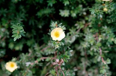 shrubby cinquefoil 'Primrose Beauty'