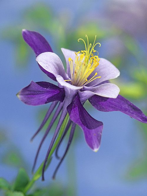 Blue Columbine Flower Bloom On Mountain Forest Floor Stock Photo ...