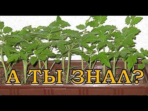 """11 """"Нельзя"""" при выращивании помидоров - YouTube"""