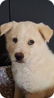 Denver, CO - Australian Shepherd/Australian Cattle Dog Mix. Meet Klondike, a puppy for adoption. http://www.adoptapet.com/pet/18106301-denver-colorado-australian-shepherd-mix