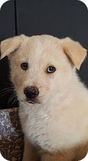 Denver, CO - Australian Shepherd/Australian Cattle Dog Mix. Meet Klondike, a puppy for adoption. http://www.adoptapet.com/pet/18106301-denver-colorado-australian-shepherd-mix