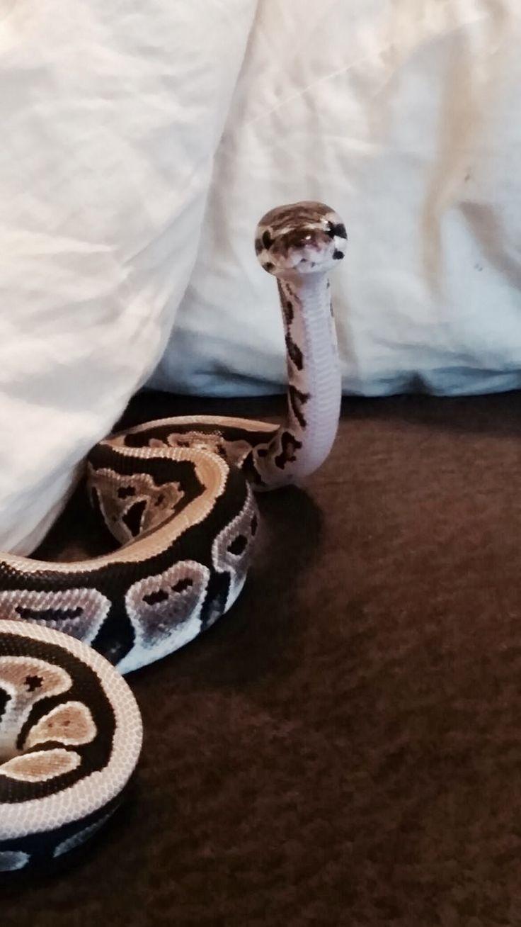 Bailey. Ball python. Female. 2 years. Friendly.