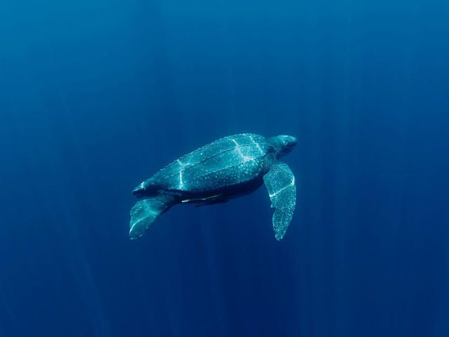 Leatherback turtles are named for their shell, which is leather-like rather than hard like other turtles. They are the largest marine turtle species and also one of the most migratory, crossing both the Atlantic and Pacific Oceans. Although their distribution is wide, numbers of leatherback turtles have seriously declined during the last century as a result of intense egg collection and fisheries bycatch.