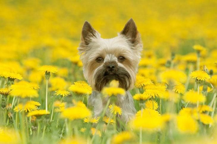 This cute Yorkshire Terrier loves being outdoors... Click on this image for more pinable #dogs and #puppies