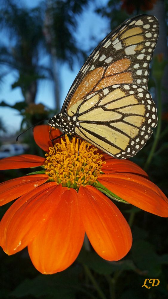 From Florida to Minnesota, the bright orange blooms of Mexican sunflowers are a favorite lnectar source for magnificent monarch butterflies. More photos, video, info, and seeds...
