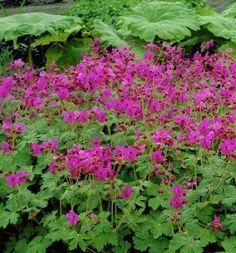 Geranium macrorrhizum Bevan's Variety