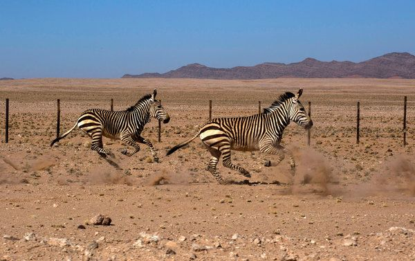 Zebras run along the gravel road between Sossusvlei and Walvis Bay / Namibia, Africa   ~Joao Silva/The New York Times