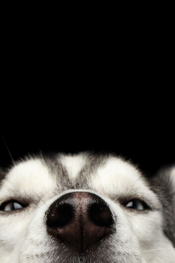 Pin By Jd Q On Dog Noses Aka Boops A Few Other Noses Too In 2020 Husky Dogs Siberian Husky Dog Siberian Husky