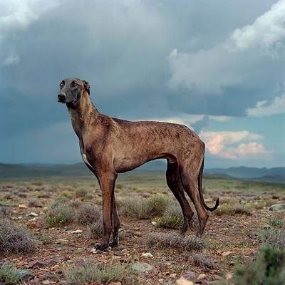.: Africani, Wild Dogs, Danielnaud, Greyhounds, Daniel Naudé, South Africa, Animal Farms, Big Dogs, Beautiful Dogs