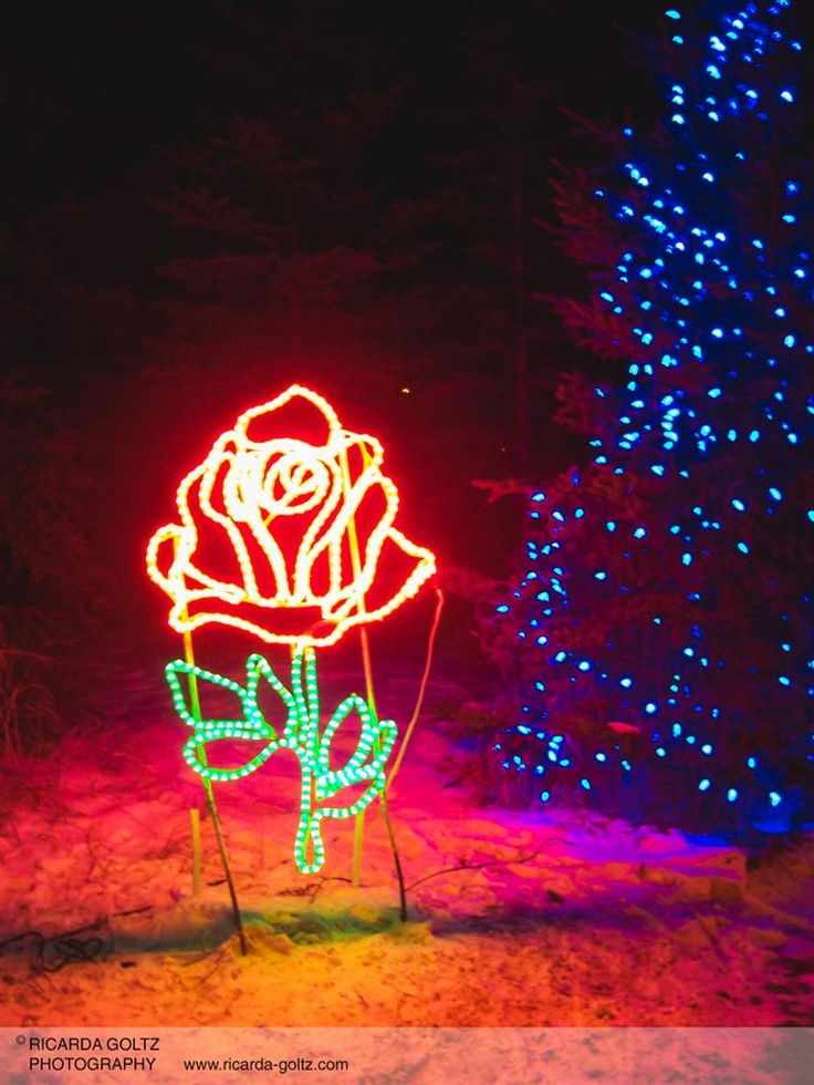 Calgary Zoo Lights: A Rose especially for you...