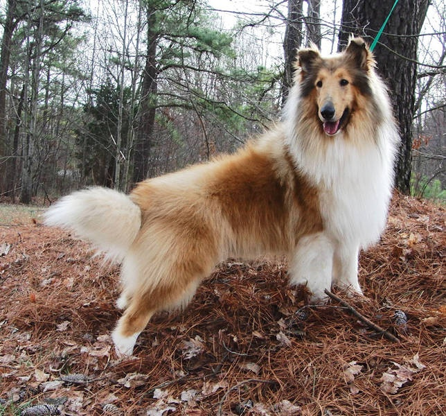I want him!  I had Collies growing up.  Love them!
