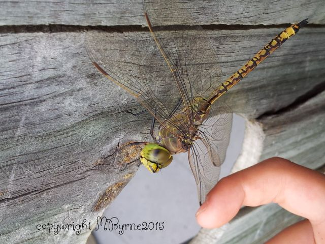 Mum sends me a dragonfly. metaphysicalawakenings.com