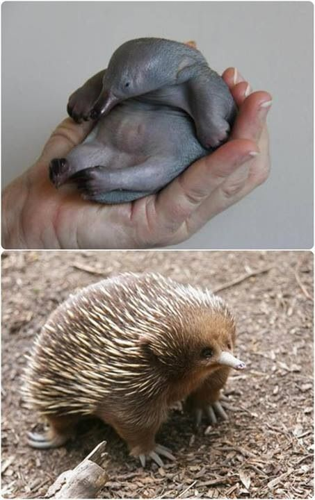 The name echidna refer to any member from three species of native ant-eating monotremes. Echidnas are unusual in that they are egg-laying mammals, they are equipped with spines (for protection) and have electro sensors in their bill.  Baby echidnas are called puggles.