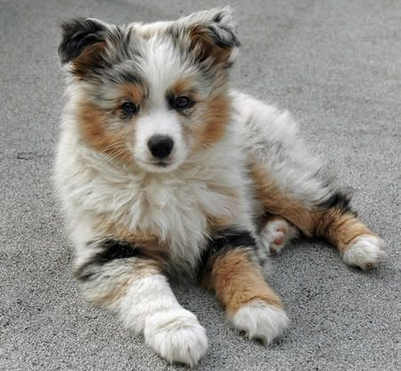 Australian Shepherd Puppy sitting on ground.