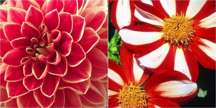 ¡Viva la flor nacional de México (imágenes preciosas)!