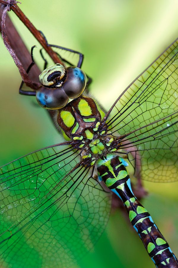 Southern Hawker Dragonfly: Hawker Dragonfly, Lucas Barovi, Blue Green, Totems Pole, Southern Hawker, Dragon Flying, Dragonfly Beautiful, Photo, Aeshna Cyanea