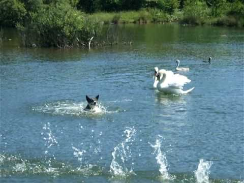Trumpet of the Swan by E.B.White - here's a you tube video of a mute swan (just like Louis in the story!!!)