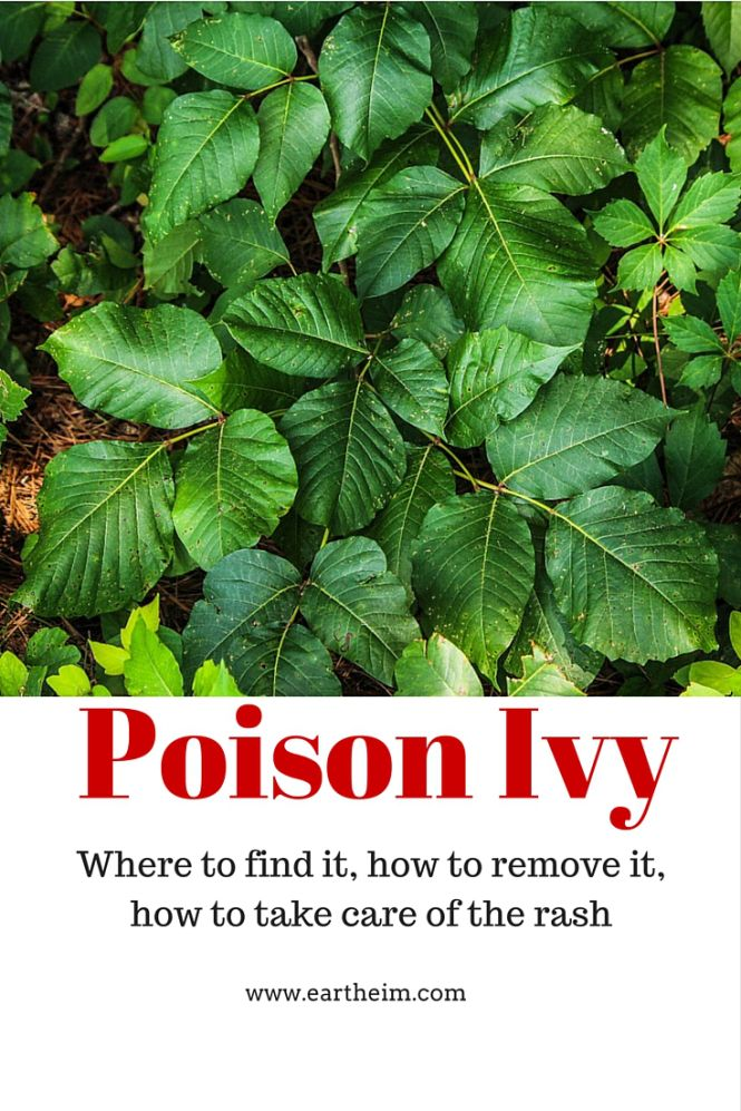 eek!!! Poison Ivy: Where to Find It, How to Remove It, How to Take Care of the Rash. What you need to know about removing poison ivy and how to identify it in the landscape.