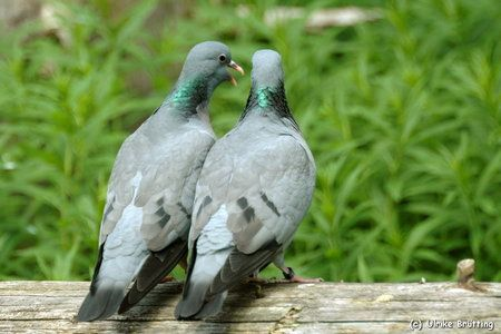 a pair of Stock Doves
