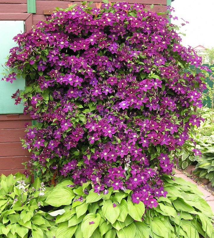 Clematis warszawska nike ...6 inch blooms that show up late spring to mid summer.  Grows to 8 feet.