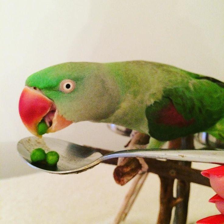 Me and mummy are like peas in a pod   #peas #vegetables #parrot #parrotsofinstagram #instaparrot #parakeet #love #igbirds #loveyourpet #alexandrine #alexandrineparrot #alex #food #foodcrazy #bird #enjoythelittlethings by oscardebird http://www.australiaunwrapped.com/