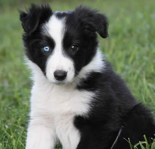 Australian Shepherd, black bi