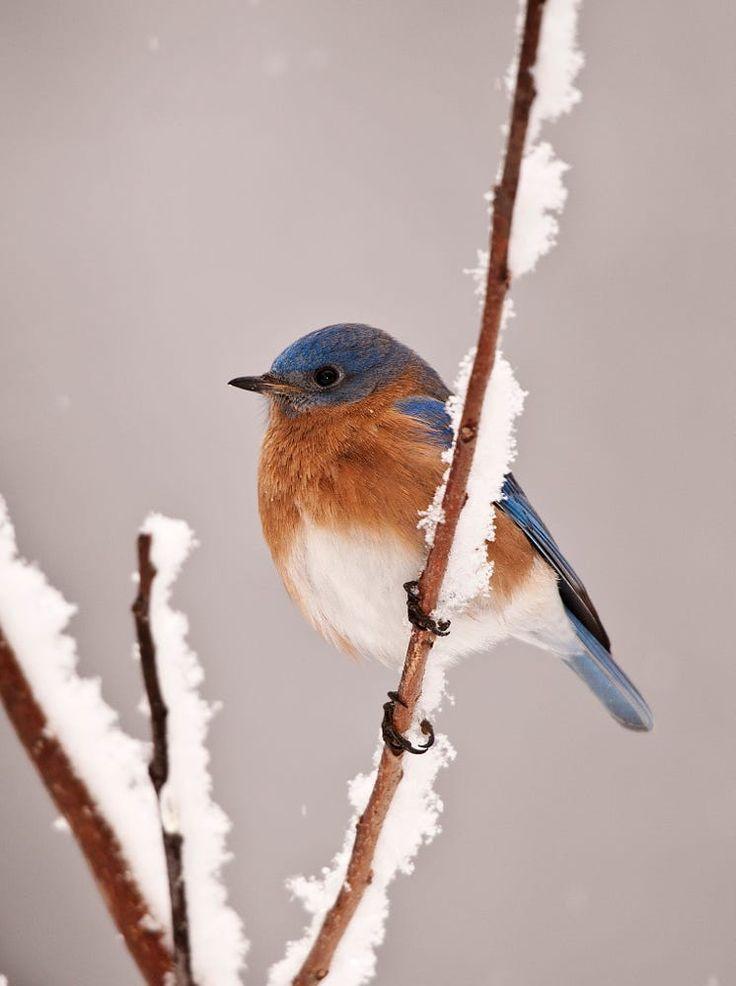 Eastern Bluebird on snowy perch. - by Art Peslak