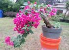 Red bougainvillea flowering pre bonsai 3