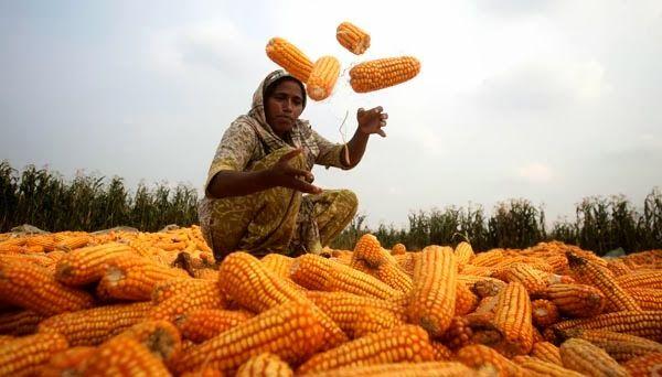 Pictorial Tube: Pakistani farmer Hafizain sorts the corns