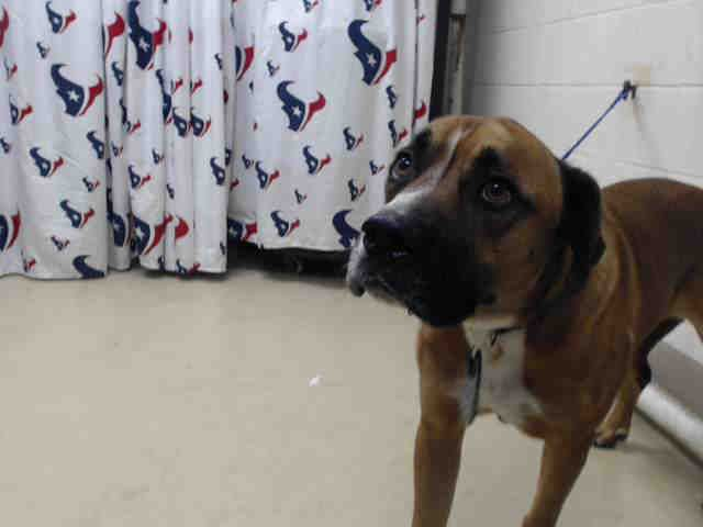 01/21/17 - HOUSTON - SUPER URGENT - This DOG - ID#A476010 I am a male, tricolor Boxer and Labrador Retriever. My age is unknown. I have been at the shelter since Jan 21, 2017. This information was refreshed 50 minutes ago and may not represent all of the animals at the Harris County Public Health and Environmental Services.
