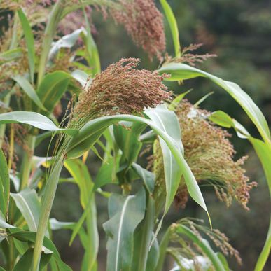 Red Broom Corn Broom Corn Seeds (Sorghum bicolor) + FREE Bonus 6 Variety Seed Pack - a $30 Value!