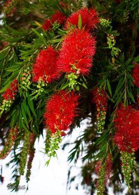 Red Bottlebrush (Callistemon rigidus)